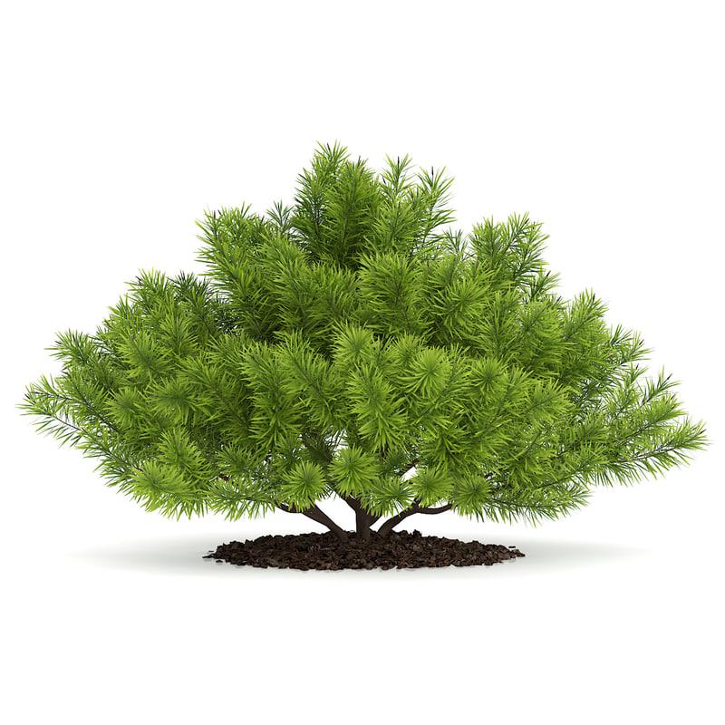 max pine shrub pinus