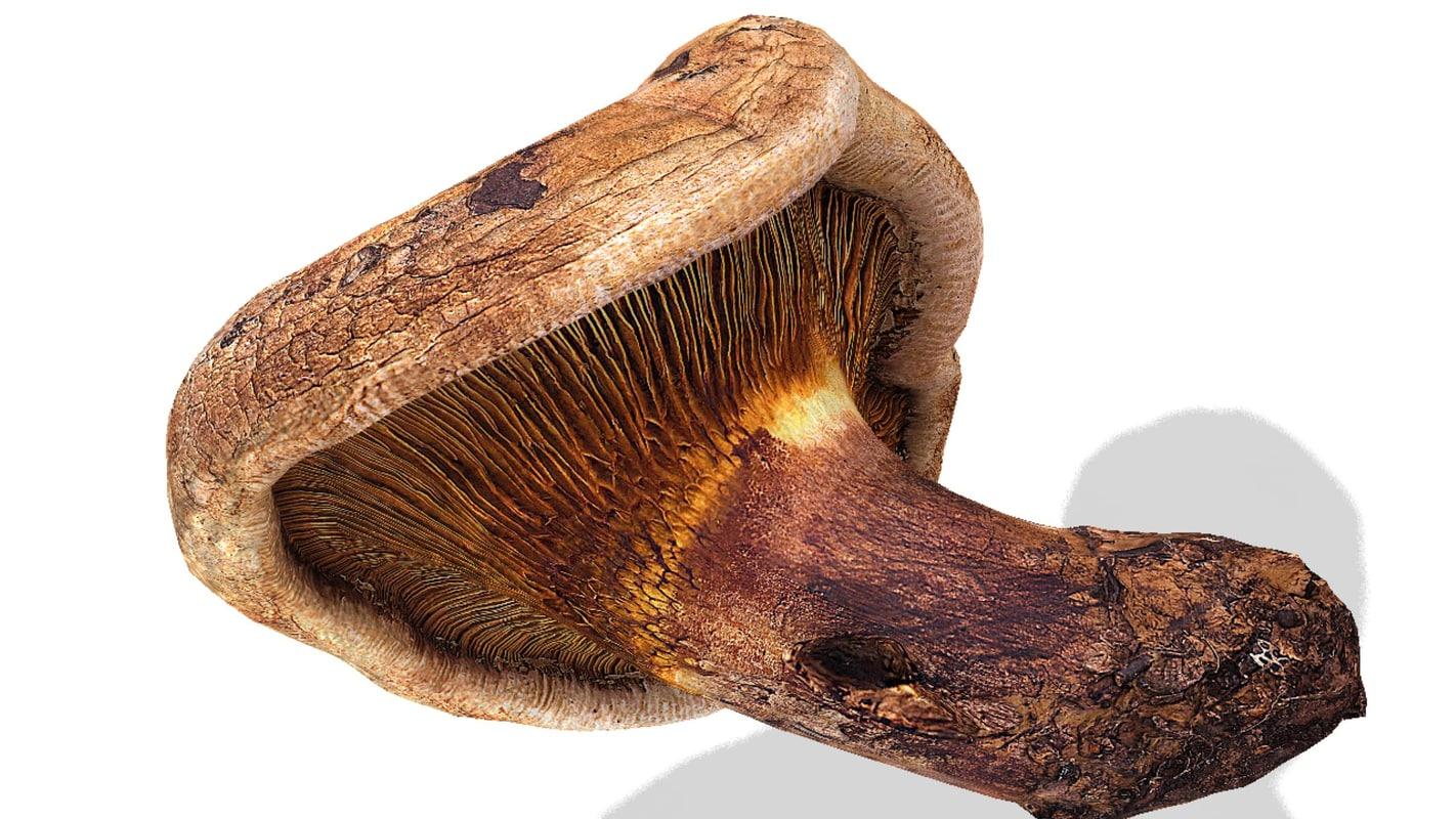 mushroom paxillus involutus 3d model