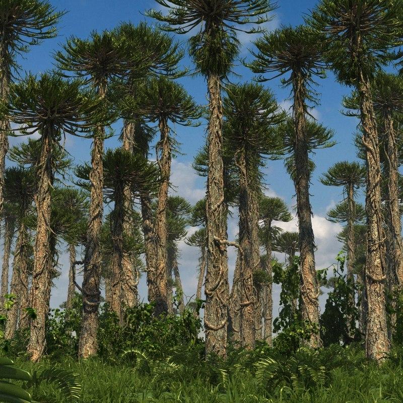 conifer tree arucaria 3d max