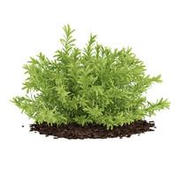 Thin Leaves Sedum Plant (Sedum album)