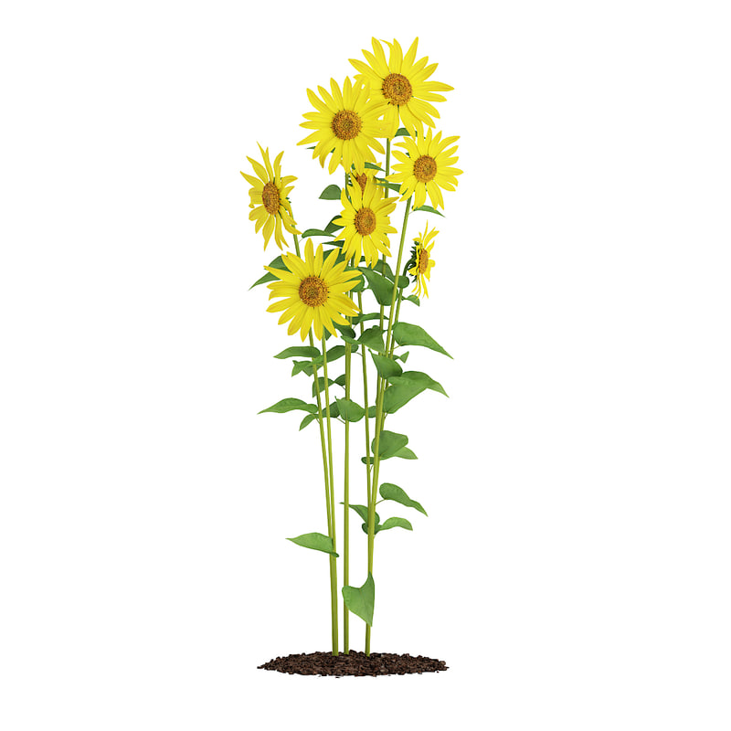 sunflowers helianthus max