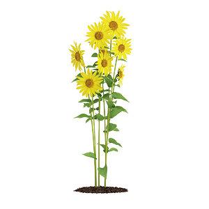 sunflowers helianthus max