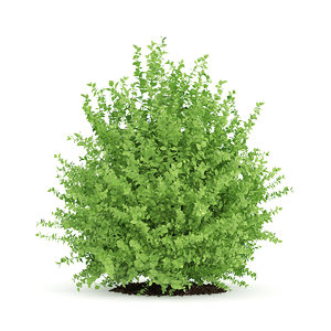 3d model of large boxwood plant buxus
