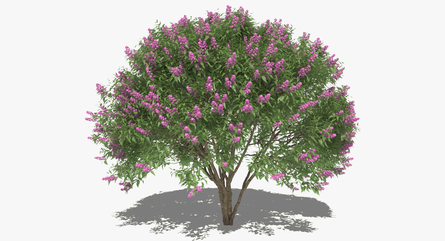 syringa lilac common set 3d model