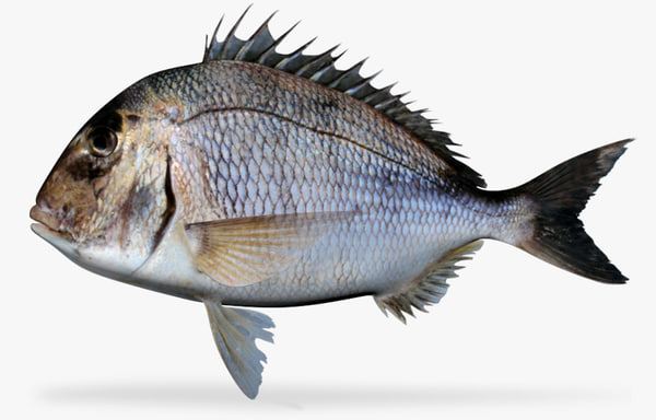 pacific porgy 3d model
