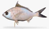 pacific spotfin mojarra 3d model