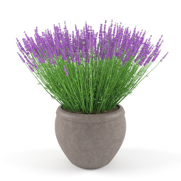 max lavender