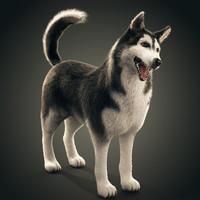 Siberian Husky rigged