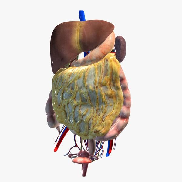3d model abdominal organs liver