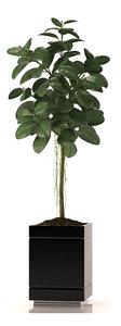 rubber plant 3d max