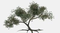 Tree Old