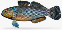 dormitator maculatus 3d ma