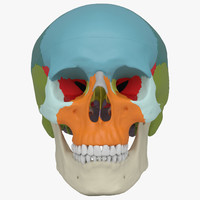 Human Skull - Didactic Version