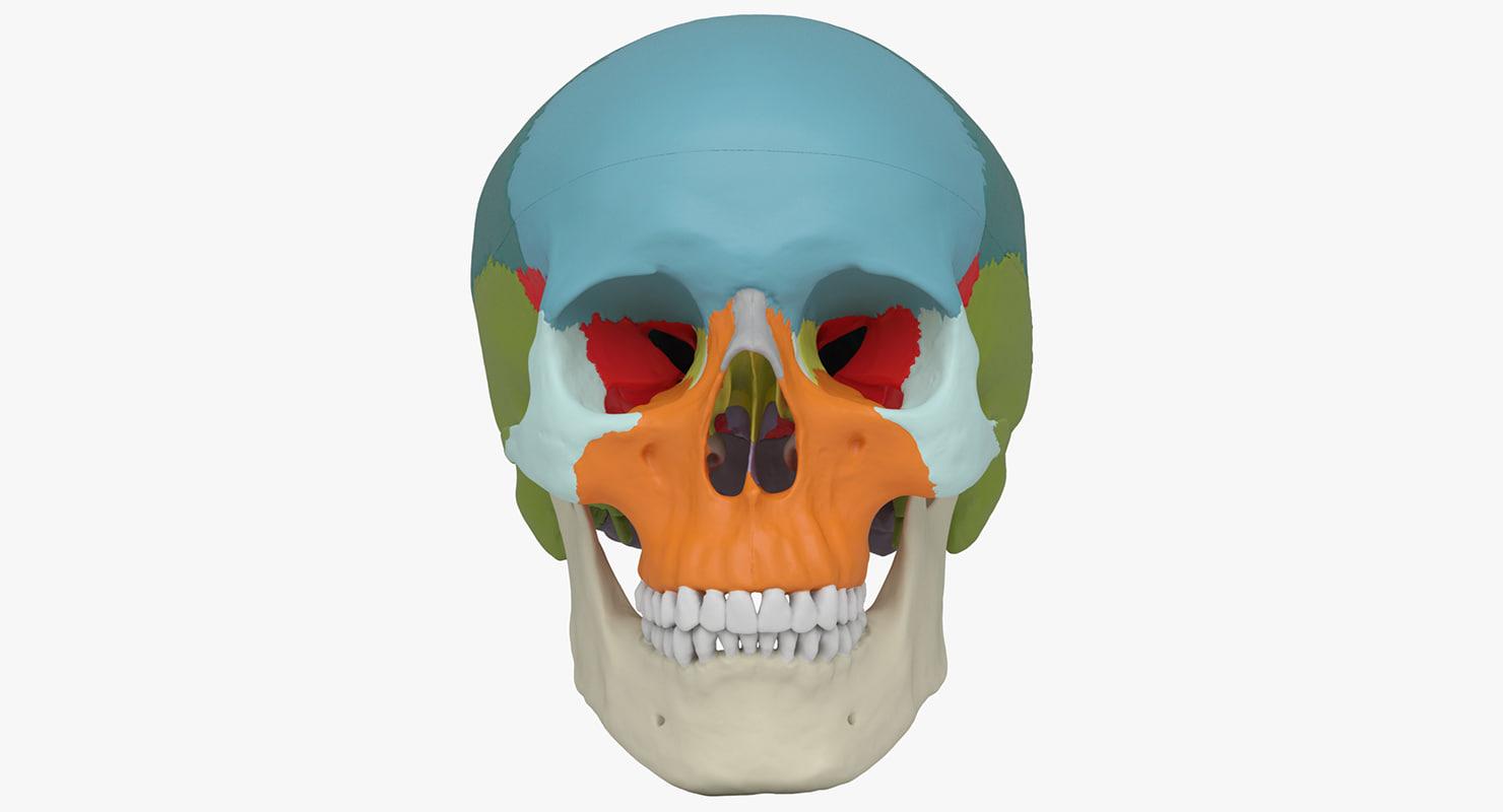 skull - didactic human 3d max