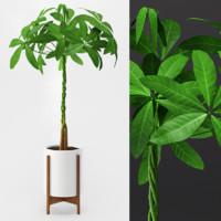 max umbrella plant