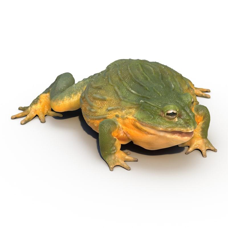 3d model african bullfrog rigged