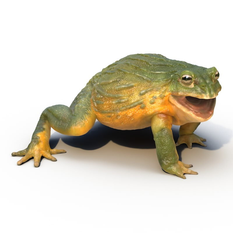 african bullfrog pose 2 3d model