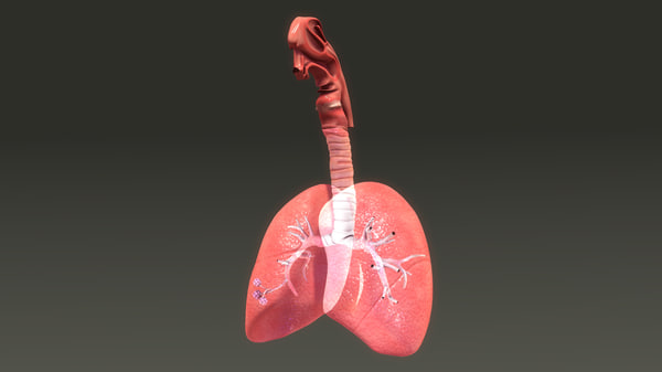 lungs anatomy 3d obj