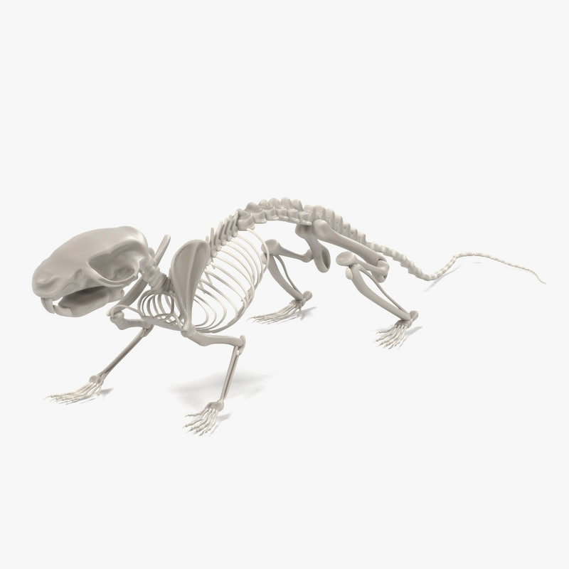 fbx rat skeleton