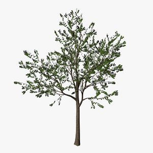 3d young maple tree