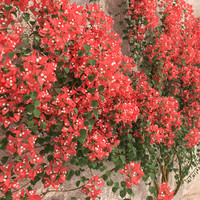set bougainvillea 2 max