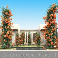 Campsis grandiflora 3