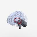 Hippocampus 3D models