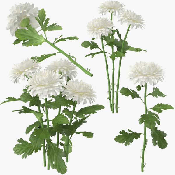 white chrysanthemum 3d c4d
