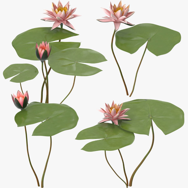 max water lily