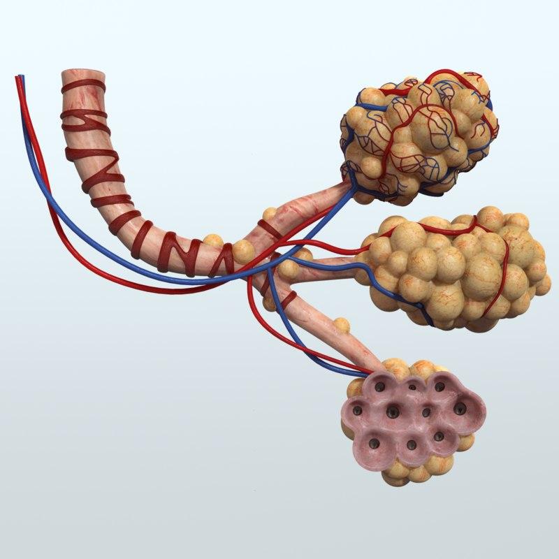 3d human lungs alveoli respiratory anatomy