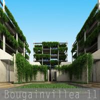 Bougainvillea 11
