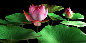 3d lotus flora