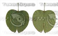 Bauhinia  blakeana Leaf