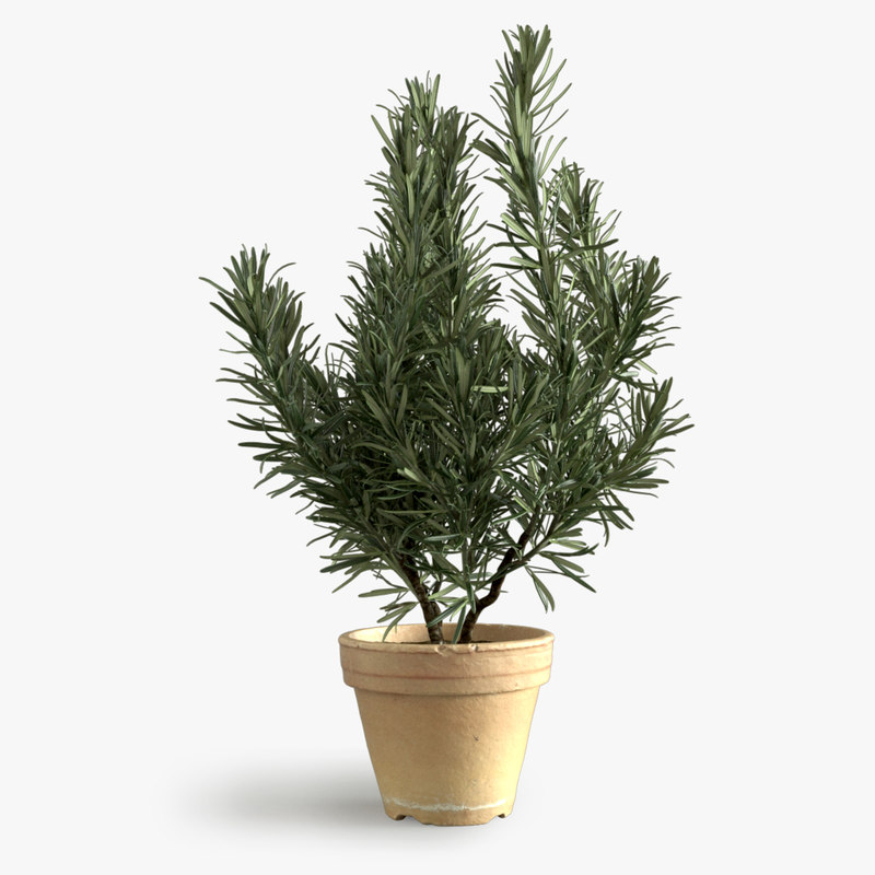 photorealistic rosemary 3d model
