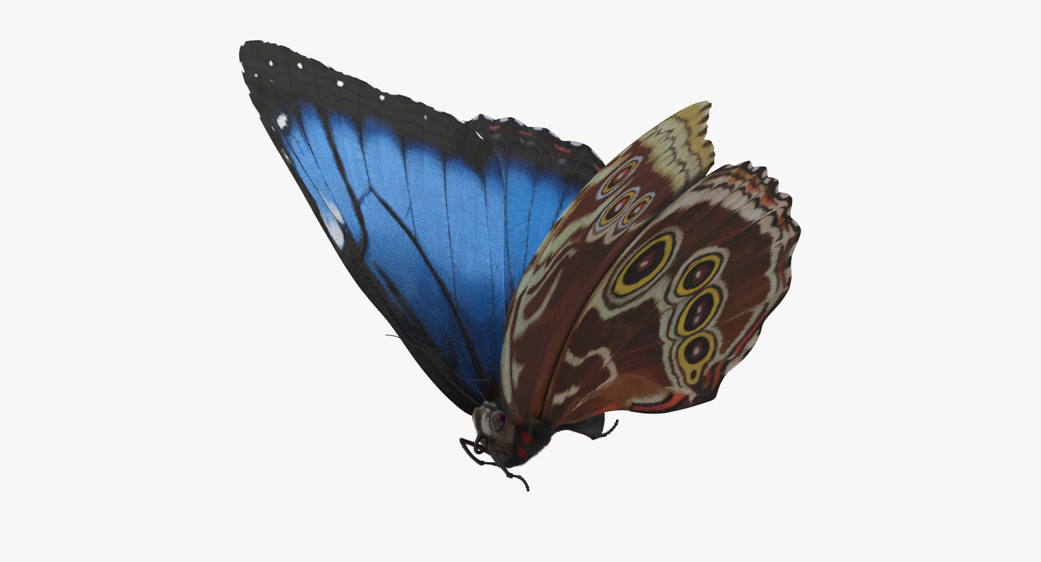 blue morpho butterfly flying max