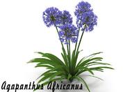 agapanthus africanus flowers obj