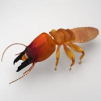 Dampwood Termite Soldier