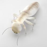 Dampwood Termite Worker