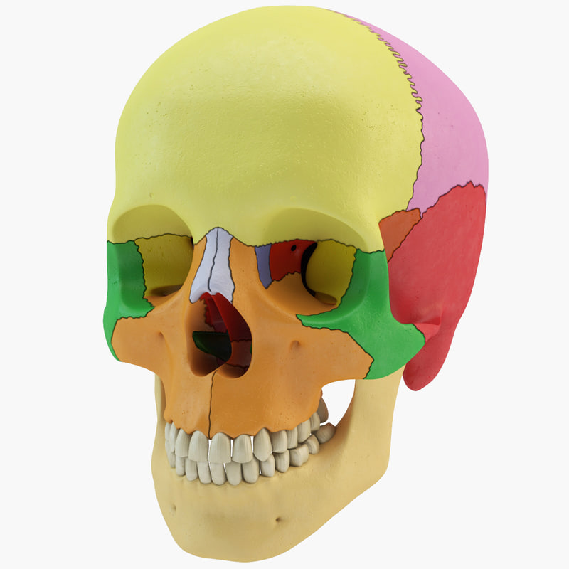 3d human skull didactic