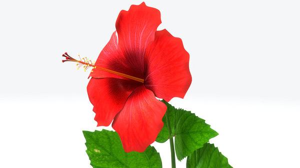 3d hibiscus flowering plants