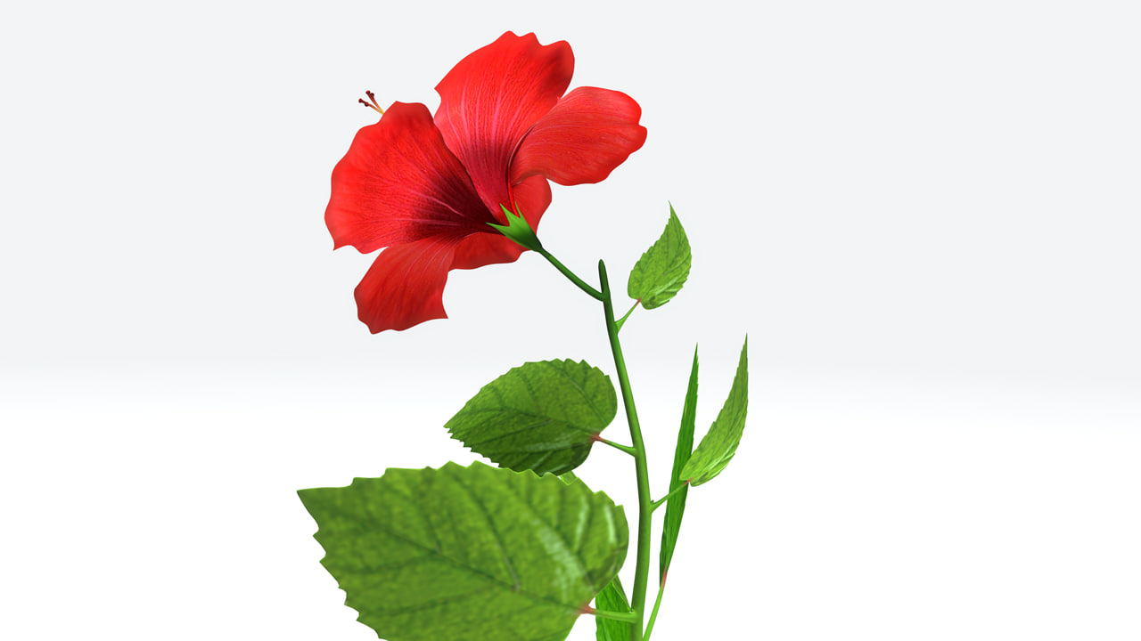 3d Hibiscus Flowering Plants