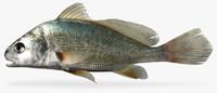 3d aplodinotus grunniens freshwater drum
