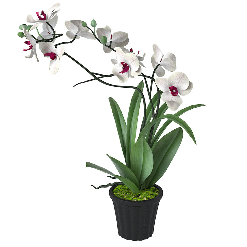 white orchid flower 3d max