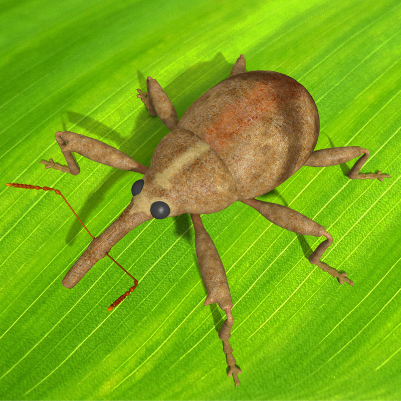 3ds anthonomus pomorum beetle