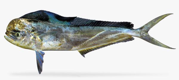 3d model dolphin fish