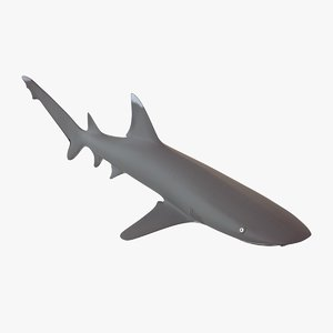 3d whitetip reef shark triaenodon model