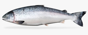 3d atlantic salmon