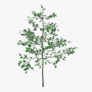 obj young oak