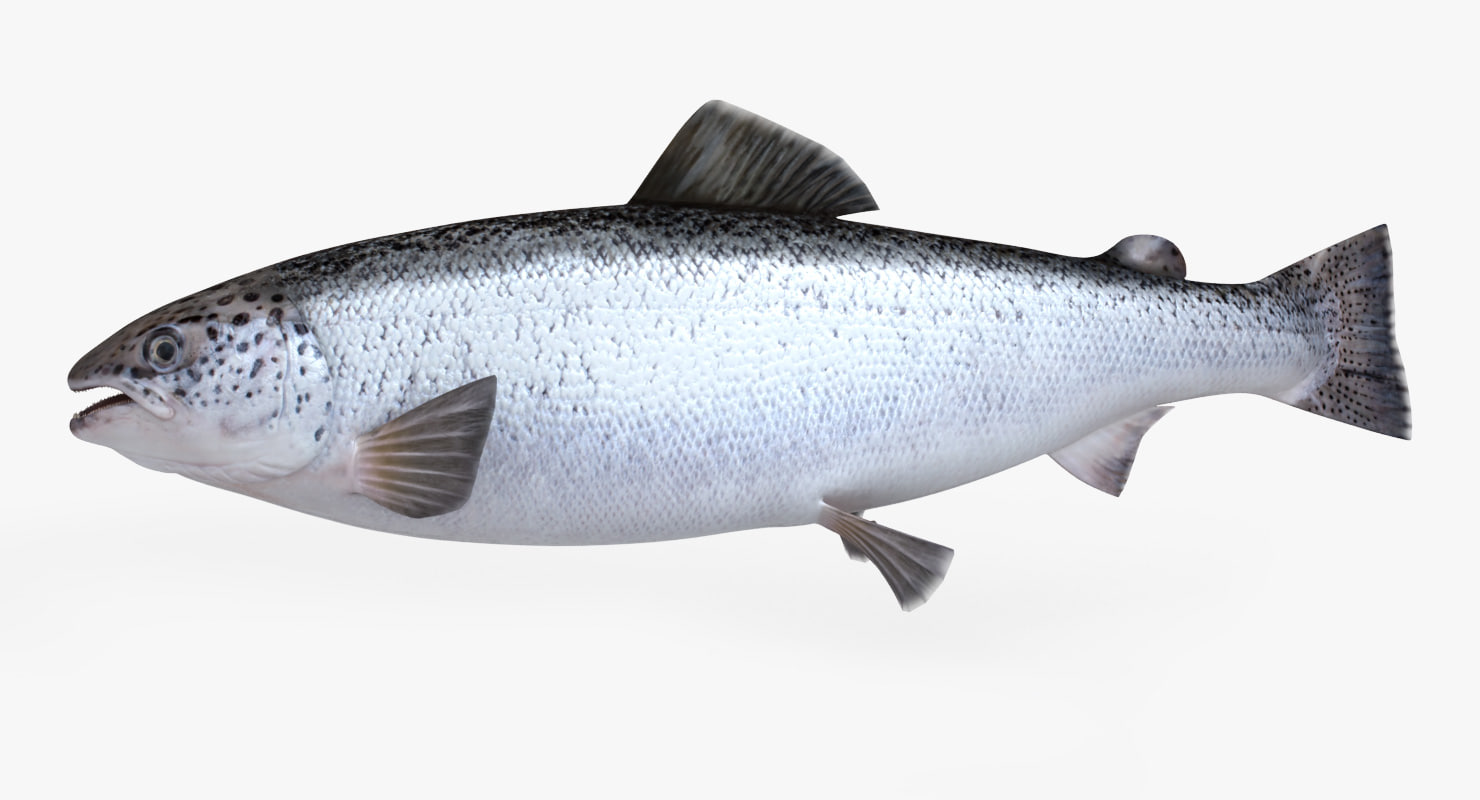 Salmon fish animation 3d max for Salmon fish images