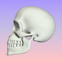 3d model skull mandible teeth